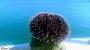 Mediterranean Sea Creatures - Sea urchin