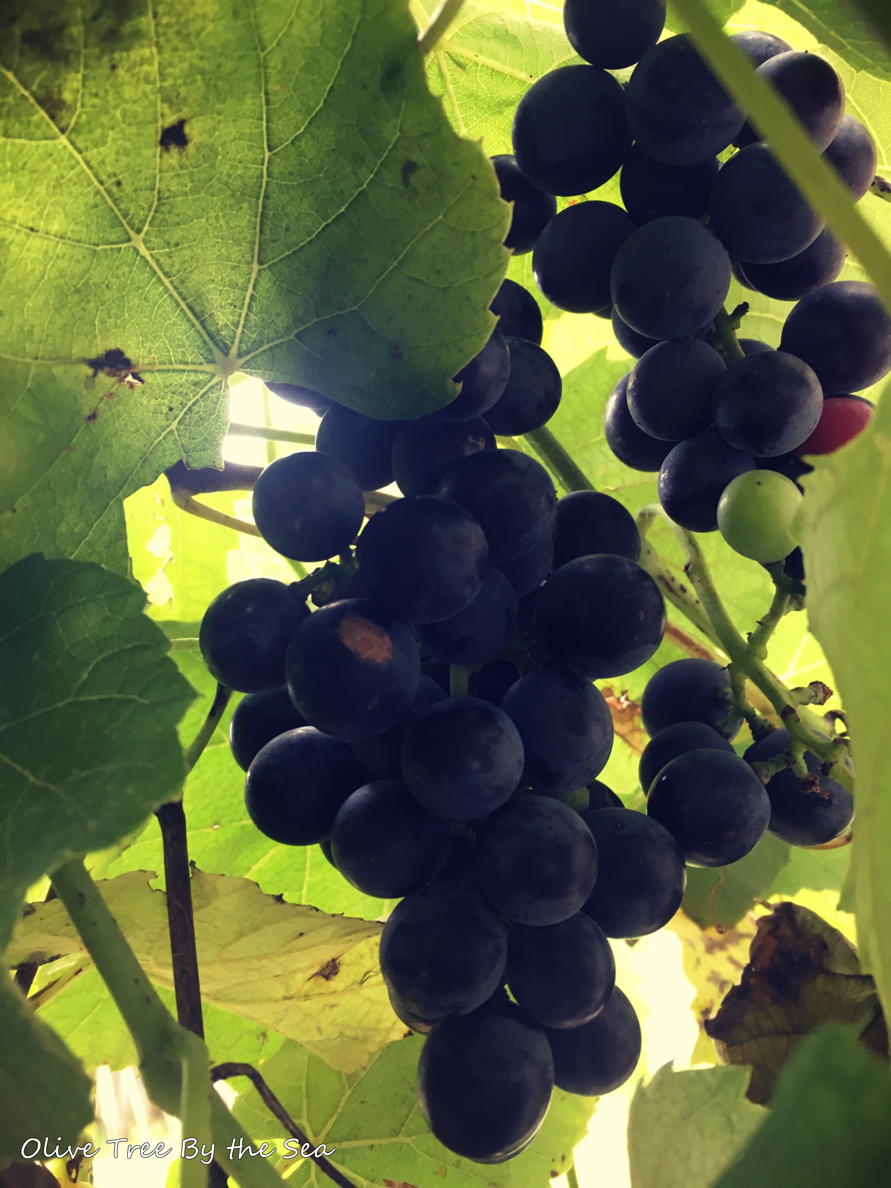 grapes7.jpg